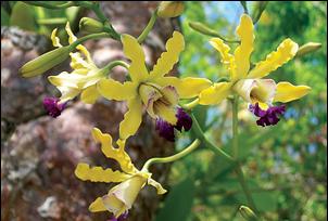 WCG 10.23.14 banana orchid
